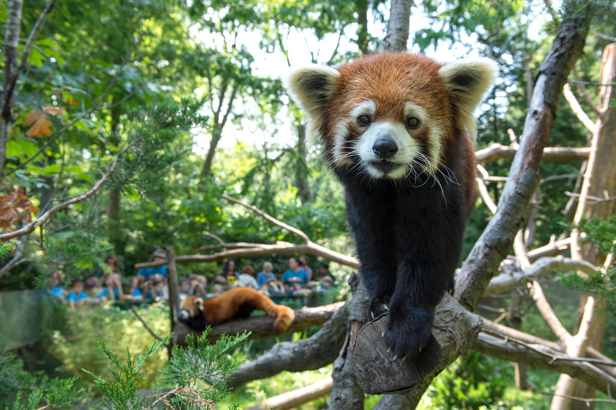 7kmowayw1v julie larsen maher 3618 styans red panda with visitors education ppz 08 20 14 hr